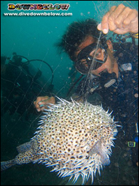 One of the team, Cyril, untangling and saving a puffer fish